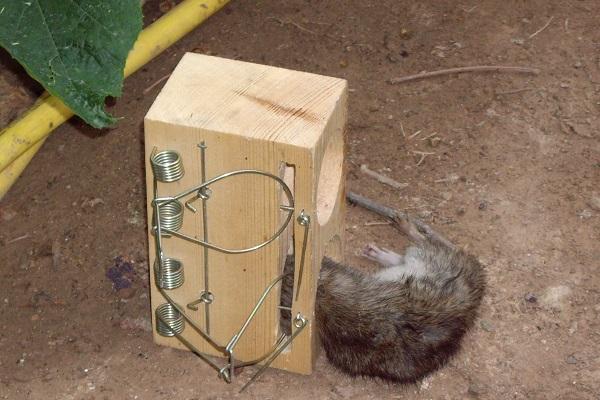 Ловушки на крыс своими руками