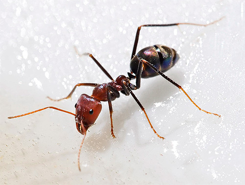 Шарики с борной кислотой от муравьв