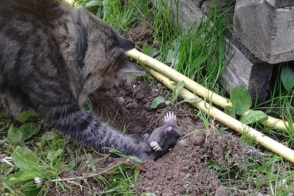 кот ловит кротов