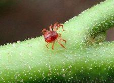 Чем опасен паутинный клещ
