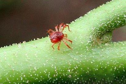Опасен ли паутинный клещ для человека