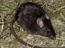 Земляная крыса на огороде — как прогнать?