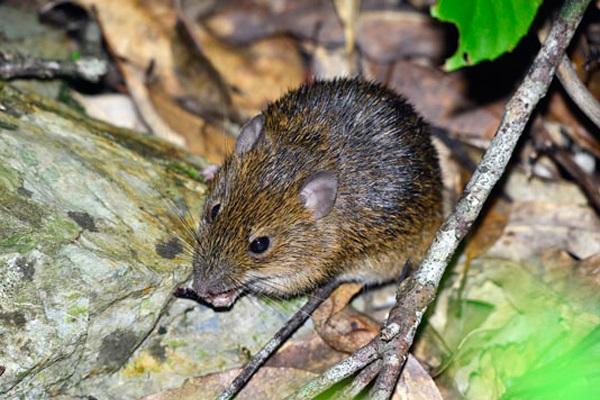 земляная мышь на дачном участке