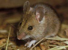 Запах мышей — как от него избавиться