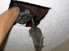 Мыши в потолке — как прогнать непрошеных «гостей»