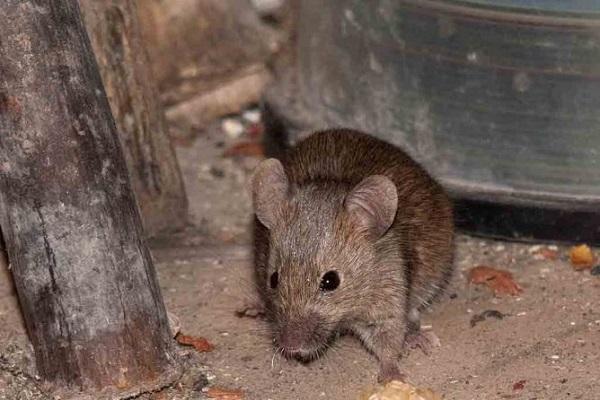 мыши в деревянном доме