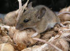 Мыши в доме — методы избавления