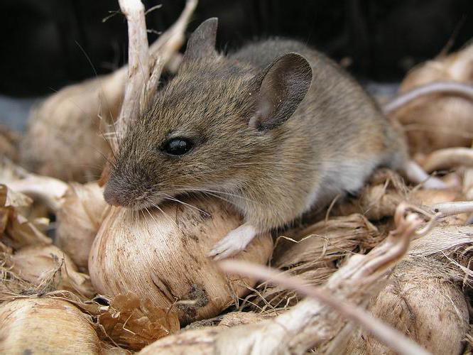 Как избавиться от мышей в доме: эффективные средства и методы