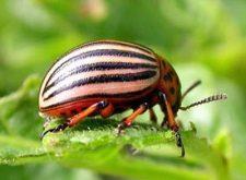 Колорадский жук — как избавиться от вредителя