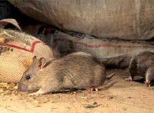 Как избавиться от мышей быстро?