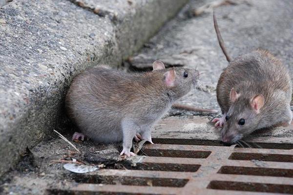 избавиться от крыс все способы