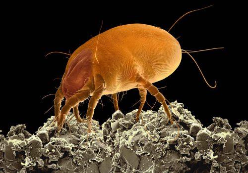 Пылевой клещ или какая опасность в домашней пыли?