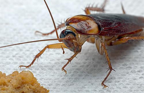 Какими народными средствами избавиться от тараканов