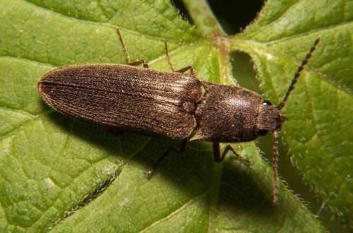 Как бороться с жуком-щелкуном и проволочником на садовом участке: эффективные способы борьбы