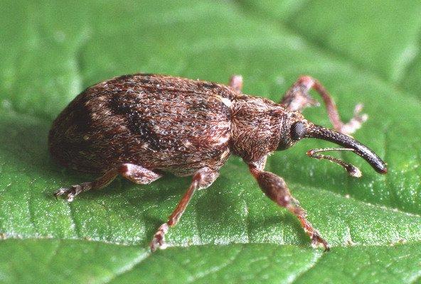 Как избавиться от вредителя-жука долгоносика на участке: основные методы борьбы с насекомым