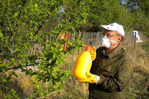 Яблонная плодожорка и как с ней бороться