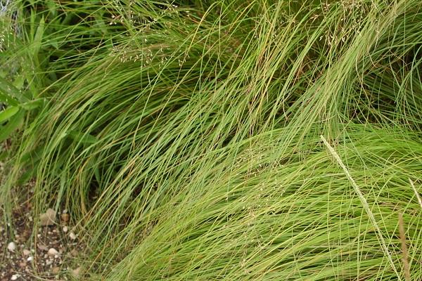 мятлик трава на огороде
