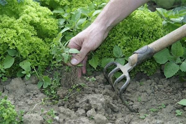 Спорыш и способы борьбы с сорняком