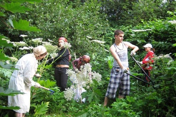Борщевик - как уничтожить сорняк