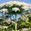 Борщевик — как уничтожить сорняк