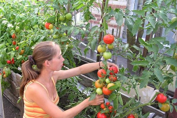 вредители помидоров и томатов