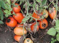Как бороться с вредителями помидор?
