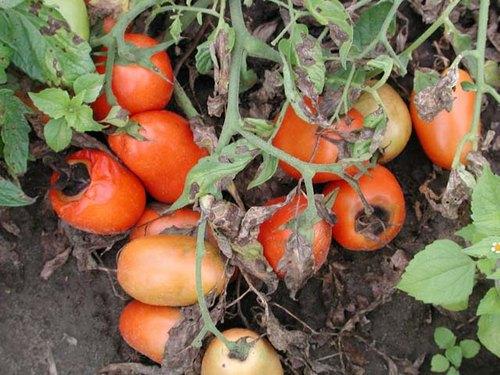 Чем обработать помидоры от зеленого червя. Как избавиться от гусениц на помидорах в теплице