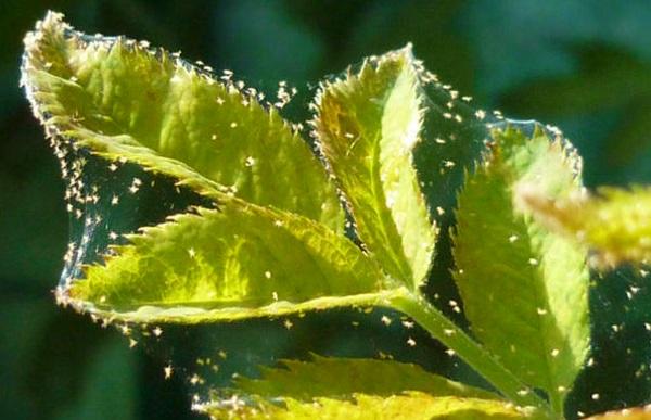 Вредители малины: их особенности и меры борьбы