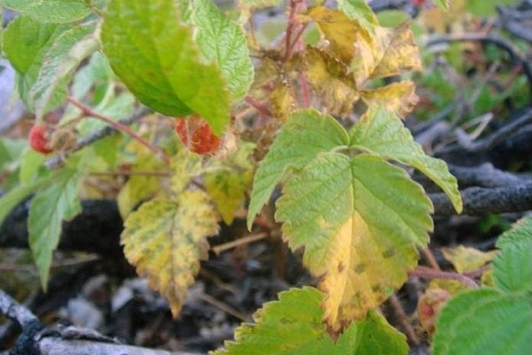 Вредители малины и как с ними бороться
